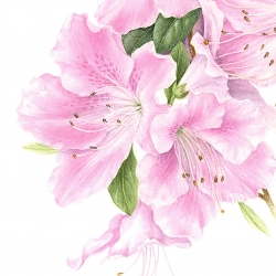 <i><b>Rhododendron</b></i> 'Encore ® Sweetheart