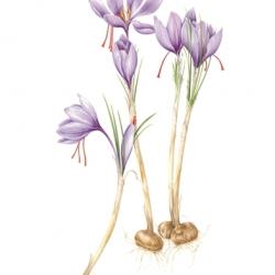 <i><b>Crocus sativus</b></i> L.