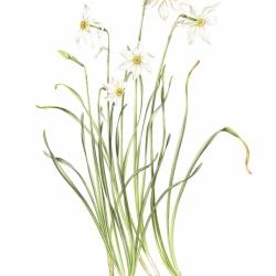 <i><b>Narcissus poeticus-verbanensis</b></i> L.