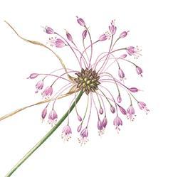 <i><b>Allium carinatum</b></i> L.