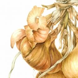 <i>Allium cepa</i> L.
