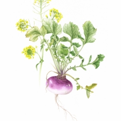 <i>Brassica rapa</i> L.