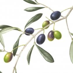 <i>Olea europaea</i> L.