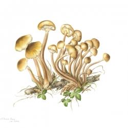 <i><b>Armillaria mellea</i></b> <br>(Vahl : Fr.) Kummer