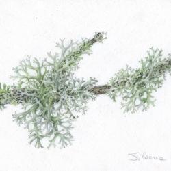 <i><b>Lichene</i></b>