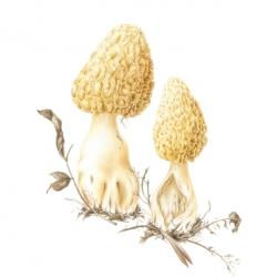 <i><b>Morchella esculenta</i></b> var. <i><b>esculenta</i></b> (L.) Pers.</i>