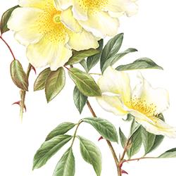 Rosa Mermaid, W. Paul 1918