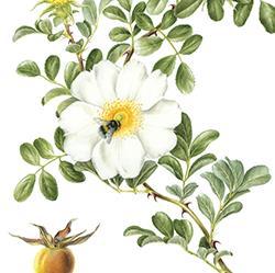 <i><b>Rosa L. 'Bracteata'</b></i>