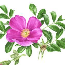 Rosa rugosa 'Scabrosa'